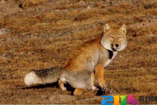 小亮老师为什么叫玉亮,藏狐是什么梗?